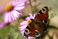 Vlinder op de bloem Stock Afbeelding