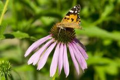 Vlinder op de bloem Royalty-vrije Stock Fotografie