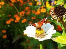 Vlinder op de bloem stock fotografie