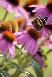 Vlinder op de Bloem van de Kegel Royalty-vrije Stock Afbeelding