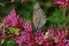 Vlinder op de bloemblaadjes Stock Afbeelding