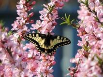 Vlinder op de bloemen van een bloeiende amandelboom Royalty-vrije Stock Foto's