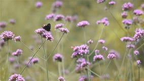 Vlinder op de bloemen van Ijzerkruidbonariensis stock video