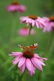 Vlinder op de de zomerbloem Stock Fotografie