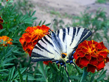 Vlinder op de Goudsbloem Stock Foto