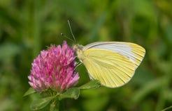Vlinder op de klaver Royalty-vrije Stock Afbeeldingen