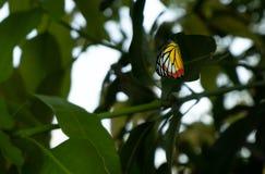 Vlinder op de mangobladeren stock afbeelding