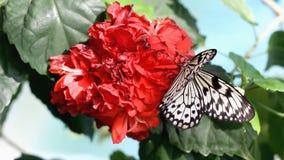 Vlinder op de rode bloem stock videobeelden