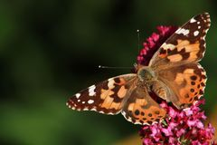 Vlinder op de Struik van de Vlinder Stock Afbeelding