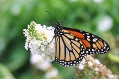 Vlinder op de Struik van de Vlinder Royalty-vrije Stock Foto
