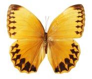 Vlinder op de witte achtergrond Royalty-vrije Stock Afbeelding