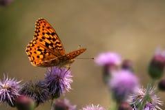 Vlinder op Distel Stock Afbeeldingen