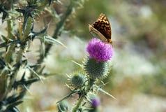 Vlinder op distelbloem Stock Afbeelding