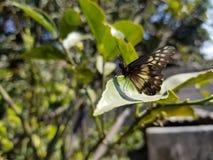 Vlinder op een Blad stock foto
