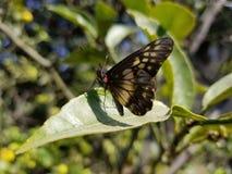 Vlinder op een Blad royalty-vrije stock afbeelding