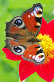 Vlinder op een bloem stock afbeeldingen