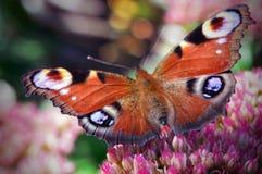 Vlinder op een bloem Royalty-vrije Stock Fotografie