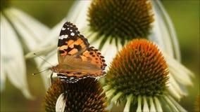 Vlinder op een bloem stock video