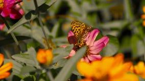 Vlinder op een bloem die stuifmeel verzamelen stock footage
