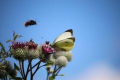 Vlinder op een Distel Royalty-vrije Stock Afbeeldingen