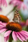 Vlinder op een echinacea Stock Foto's