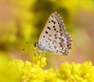 Vlinder op een gele bloem Stock Fotografie