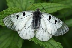 Vlinder op een gras. Zwarte Apollo (Mnemosyne) Royalty-vrije Stock Afbeelding