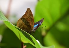 Vlinder op een groen blad, nymphalidae, blauwe bevlekte vlinder Royalty-vrije Stock Afbeelding