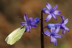 Vlinder op een hyacintbloem Stock Afbeelding