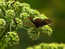 Vlinder op een installatie met kleine witte bloemen bij bos Stock Afbeeldingen