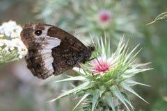 Vlinder op een Klis Royalty-vrije Stock Afbeeldingen