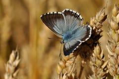 Vlinder op een korrel royalty-vrije stock fotografie