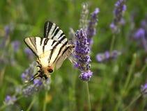 Vlinder op een lavendel royalty-vrije stock afbeelding