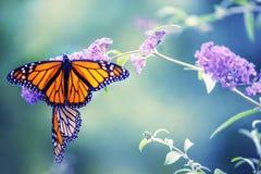 Vlinder op een lilac bloem stock foto's