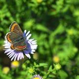 Vlinder op een madeliefje Stock Foto's