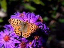 Vlinder op een purpere bloem Royalty-vrije Stock Afbeeldingen