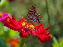 Vlinder op een rode bloem Stock Afbeelding