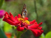 Vlinder op een rode bloem Stock Fotografie