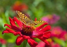 Vlinder op een rode bloem Stock Afbeeldingen
