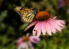 Vlinder op een Roze Bloem Stock Afbeeldingen