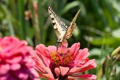 Vlinder op een roze bloem Royalty-vrije Stock Afbeelding