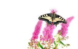 Vlinder op een roze die bloem op wit wordt geïsoleerd Swallowtailvlinder, Papilio machaon Stock Foto's