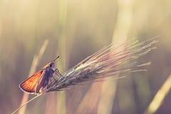 Vlinder op een tarwe stock afbeeldingen