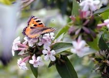 Vlinder op een tot bloei komende struik Royalty-vrije Stock Afbeeldingen