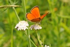 Vlinder op een wilde bloem in de de zomerdag Royalty-vrije Stock Foto's
