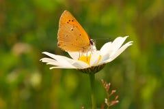 Vlinder op een wilde bloem in de de zomerdag Stock Afbeeldingen