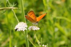 Vlinder op een wilde bloem in de de zomerdag Royalty-vrije Stock Foto