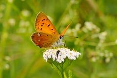 Vlinder op een wilde bloem in de de zomerdag Stock Fotografie