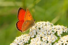 Vlinder op een wilde bloem in de de zomerdag Royalty-vrije Stock Afbeeldingen