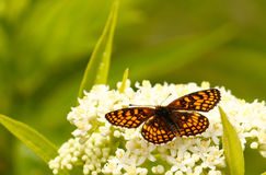 Vlinder op een witte bloem royalty-vrije stock foto's